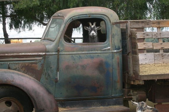 Quirky Goat In A Truck, Matted and signed fine art digital print