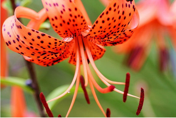 Tiger Lily Bulbs (garden fresh)