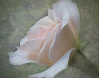 Single Rose Photograph, English Garden Rose, Pink Rosebud, Romantic Rose Photo, Floral Photo Print, Fine Art photo, Cancer Donation Photo