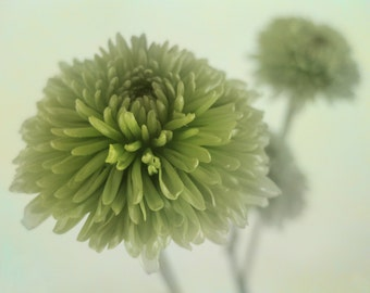Green Pom Poms Digital Photograph, Button Pom Flowers