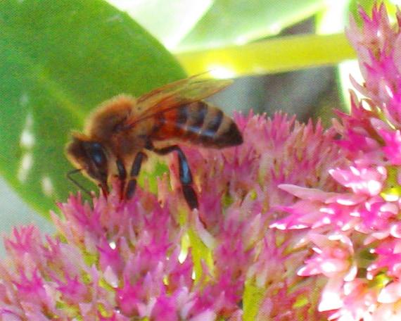Autumn Joy Digital Photograph, Fall Blossom, Honey Bee, Autumn Nectar