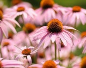 Pink and Orange Daisy Garden 8x10 Color Print