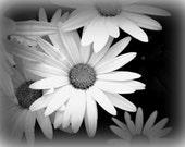 SALE Vintage Daisies 5X7 Photo Print