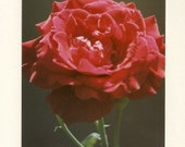 A Red Rose - Note Card