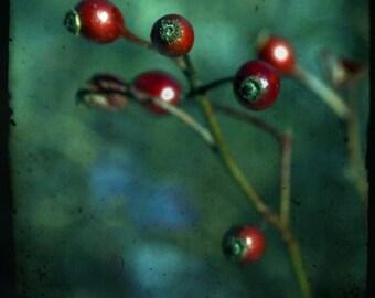 Rose hips, interrupted, fine art photograph, print 8x8