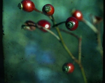Rose hips, interrupted (set of 4 blank cards, photographic art print)