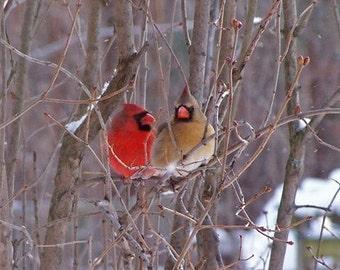 Cardinal Pair - 8 x 10 Phototgraph