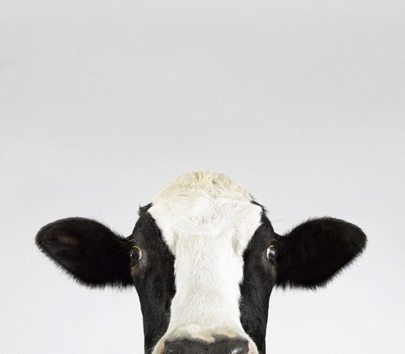 Cow No. 2, 7 x 8 Fine Art Print