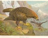 1904 GOLDEN EAGLE  Antique Colored Book Plate  BIRD Print Chromolithograph