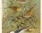 BUNTINGS P.J. Smit  Antique Colored Print 1904 BIRDS