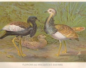 Florican and Macqueens Bustard BIRDS Antique Book Chromo Print