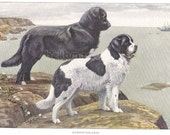 1900s Print NEWFOUNDLAND Dogs on Cliff by Louis Agassiz Fuertes