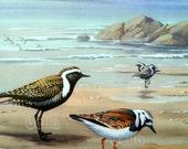 Vintage BIRDS Print - Sea Birds - Golden Plover and Ruddy Turnstone  1930s Book Illustration by Walter Alois Weber