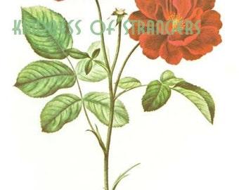 Antique Botanical Print Digital Sheet - Floral Red Rose - Digital Download Print Image Transfer