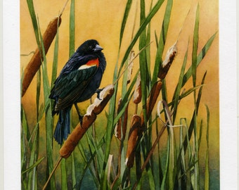 "Red-wing Blackbird in Cattails watercolor giclée print - ""Tranquil Golden Perch"""
