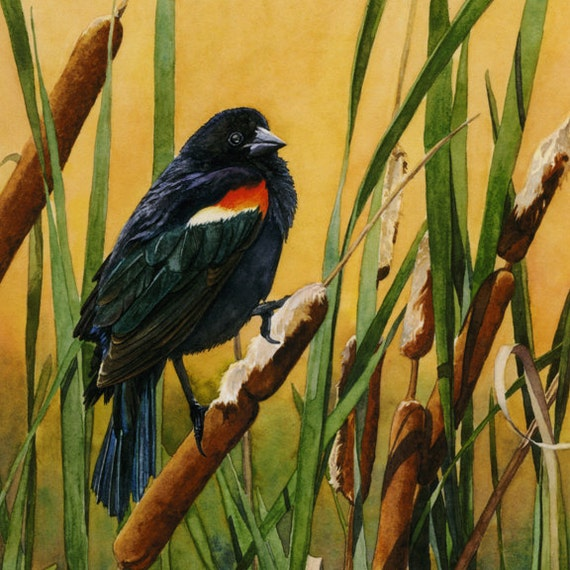 "Red-wing Blackbird in Cattails watercolor 8x10 giclée print - ""Tranquil Golden Perch"""