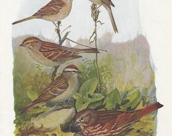 Sparrow Bird Print Plates 83 & 84