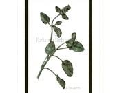 SELFHEAL - Prunella vulgaris - HAND-TINTED BOTANICAL PRINT