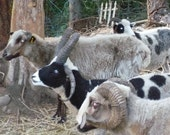 The Last Stand - variegated breeds of sheep Yarn