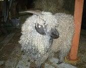 Adopt a Angora Goat for an 1 month,and receive a Handspun handknit Scarf