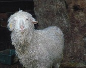Adopt a Angora Goat for an 1 month,and receive a skein of yarn adoption letter and photo