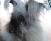 Adopt a Angora bunny for an 3 months - and get Bunny Batts
