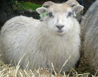 ADOPT a  ICELANDIC Sheep and GRRRRR yarn club- for 6 months