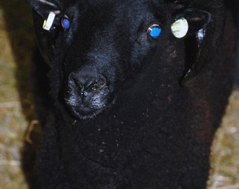Adopt A Rare and Endangered Black Welsh Mountian Sheepfor an entire year,and receive a skein of yarn per month
