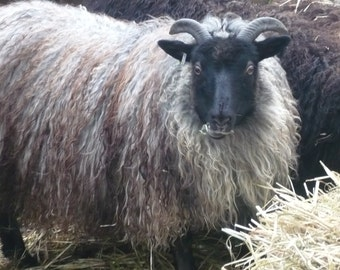 ADOPT a  ICELANDIC Sheep club- for 3 months bulky yarn