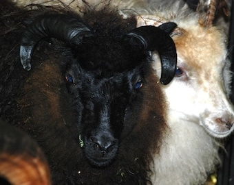ADOPT a  ICELANDIC Sheep club- for 6 months membership