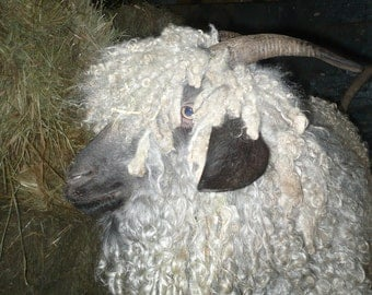 Adopt a Angora Goat for an 3 months,and receive Felting Fibers