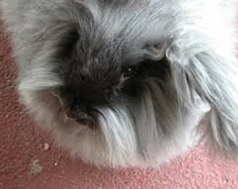 Adopt a Angora bunny for an 6 months,and receive 2 bunny batts per month
