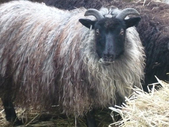 ADOPT a  ICELANDIC Sheep club- for 1 year and get a skein of yarn each month