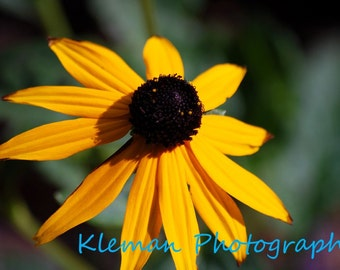 Black-Eyed Susan 8x10 Matte-READY TO SHIP