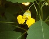 Jewelweed Seeds 25 Seeds Impatiens Pallida Shade Plant Wildflower