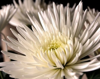 White Chrysanthemum Photograph 3