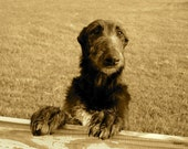 Say Hello to My Little Deerhound
