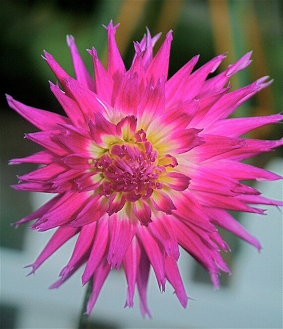 Pink Dahlia Full Bloom- Fine Art 8 x 10 Photography Print