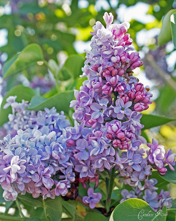 Bright Lavender, Purple and Pink Lilac Flowers - Fine Art 8 x 10 Photography Print