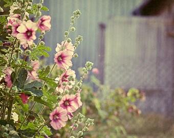 Flower photograph. Hollyhocks. Fine art photography print. 8x8 inches (20x20 cm)