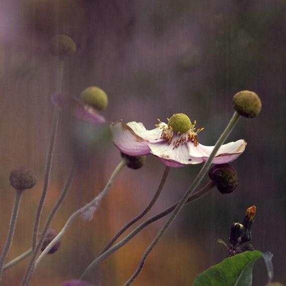 "Flower photograph. ""Anemone..."". Fine art photography print."