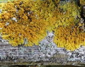 Lichen N.2 - 6 x8 Fine Art Print -silver yellow -Valentine Easter Birthday gift  wall decoration
