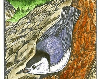 Nuthatch - Bird Print - Wildlife Songbird Art - Bird Art Print - by Will Kay Studios