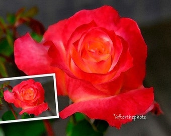 Fine Art Photography-Red Rose