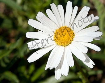 Fine Art Photography-Shasta Daisy