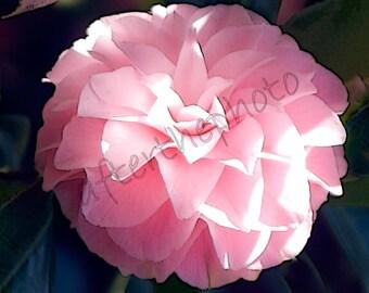 Fine Art Photography-Pink Beauty