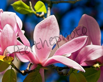 Fine Art Photography-Spring Magnolia