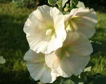 Gorgeous butter yellow Heirloom Hollyhock seeds