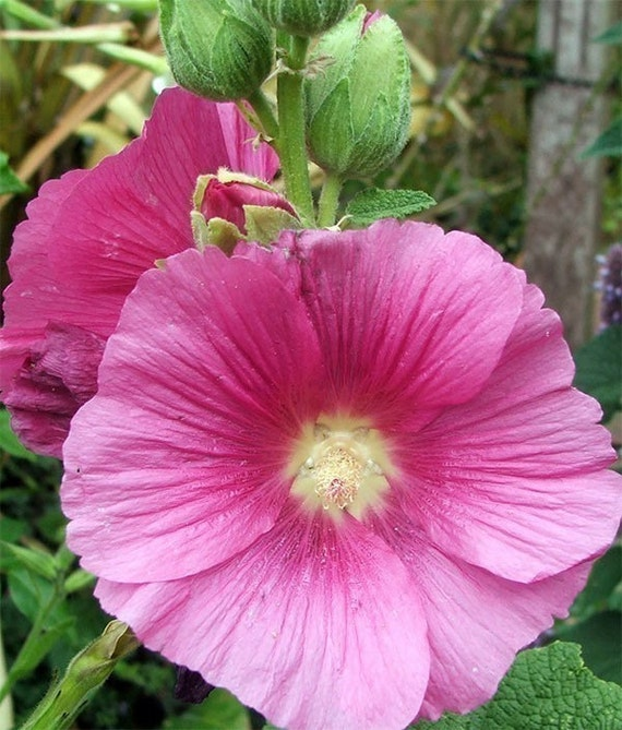 Heirloom Single Pink Hollyhock seeds by SmokymistGardens ...