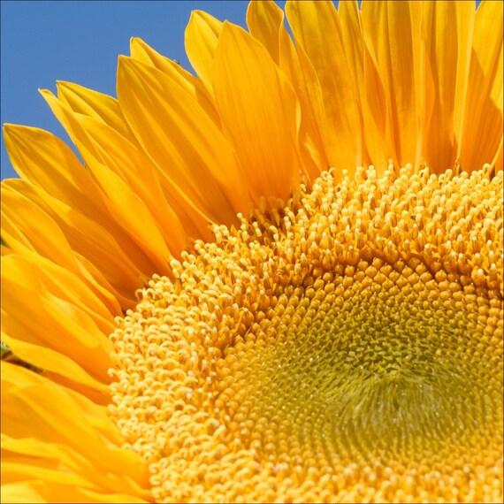 Sunflower 1 Archival Print